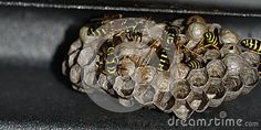 Industrious wasps that feed on the larvae in the nest