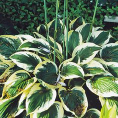 Hosta is, without a doubt, the most popular, most-used and well-known perennial for part-shade to full shade and is especially well-suited for sun-dappled, shady gardens that receive regular moisture.