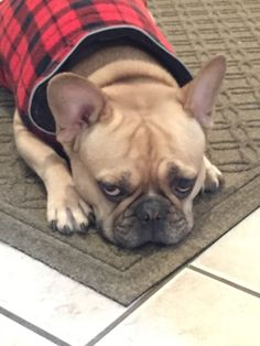 Lil Rock the French Bulldog