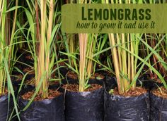 how to grow lemongrass and tips for using it