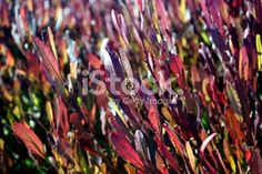 Dodonaea Viscosa 'Purpurea' (Purple-leafed Hop-bush) or Akeake Royalty Free Stock Photo Maroon Color, Image Now, Shrubs, Close Up, Royalty Free Stock Photos, Purple, Flowers, Red, Photography