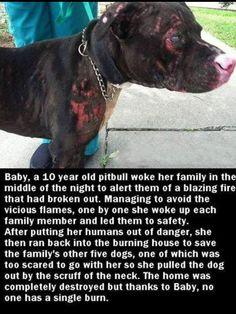 A Hero:D Baby, un pitbull de 10 años despertó a su familia en medio de la noche para alertarles de un incendio ardiente que había estallado.