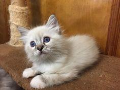 Welcome to Genotype Cats - Ragdoll Cats Ragdoll Cats, Kittens, Animals, Shop, Gatos, Domestic Cat, Ragdoll Kittens, Beautiful Cats, Bite Size