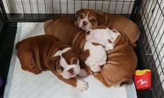 #englishbulldog #englishbulldogpuppy #englishbulldogpuppies #englishbulldogpuppiesforsale #cute #dogs #cutedogs #cuteanimals #pets English Bulldog Puppies, Pitbulls, Pets, Animals, Animals And Pets, Animales, Pit Bulls, Animaux, Pitt Bulls