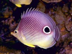 tropical fishes | biting-fish-in-purple-corals