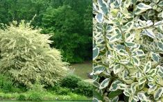 Variegated Privet - Ligustrum sinensis Variegatum is an exceptionally fast-growing and colorful shrub that is very useful to create a quick hedge or screen. Plants, Planting Flowers, Shrubs, Fast Growing Plants, Large Plants, Tall Shrubs, White Gardens, Variegated, Specimen Trees