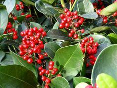 Le bacche rosse della Skimmia, pianta sempre più diffusa e apprezzata #piante #giardino #inverno #winter #garden #red #berries