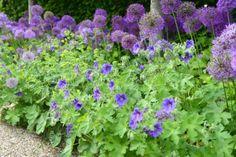 purple - Geranium and Allium
