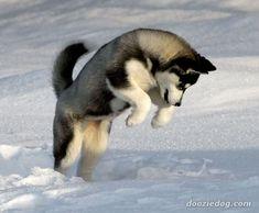 Huskies are just too cute!