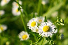 ヒメジョオン(姫女菀、学名: Erigeron annuus)は、キク科ムカシヨモギ属の植物。背の高さが50-100cmにもなる、白い花を咲かせる一年草である[2]。同属のハルジオンと共に、道端でよく見かける雑草である。