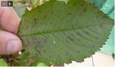 Saviez-vous que les feuilles de cerise peuvent traiter le foie, l'hépatite A, et vous faire perdre du poids ?
