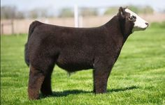 Fluffy Cows, Fluffy Animals, Cute Cows, Cute Funny Animals, Blow Dried Cow, Farm Animals, Animals And Pets, Show Cows, Pig Showing
