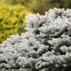 Best Conifers for your yard