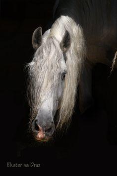 Pure Spanish Horse