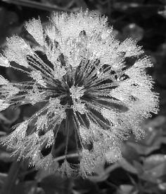 Dew on a dandelion...photo by a friend
