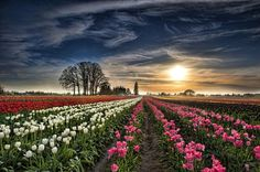 'Landscape & Field' Photo| Connie Lustria Wooden Shoe Tulip Farm. Woodburn, Oregon