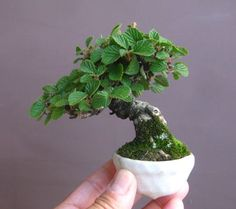 Beautiful mini mame bonsai                                                                                                                                                                                 More