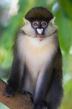 Red-tail Monkey (Cercopithecus asanius), Kichwa Tembo Forest, Masai Mara, Kenya by Suzi Eszterhas