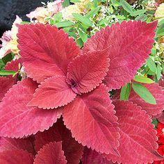 Coleus, sun-loving with solid leaf color. Zones 10-11