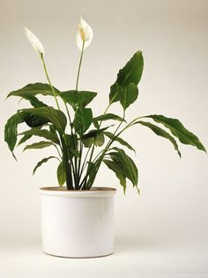 PEACE LILY - Why you want it: Surely you've seen this indoor house plant in many homes, since it has such pretty, curving white blooms and dark leaves -- and it's super easy to grow.    How to care for it: This house plant favors low humidity and also low light, making it great for rooms with few windows. It prefers moist soil throughout the pot and tolerates standard temperatures ranging to about 85 degree