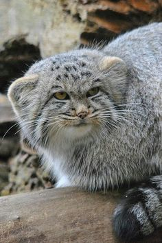 "Pallas's Cat (a/k/a Manul - Otocolobus manul).      Google search:  ""The Pallas's Cat (Scientific Name: Otocolobus manul), also called the Manul, is a small wild cat with a broad but fragmented distribution in the grasslands & montane steppes of Central Asia. Mass: 6.7 lbs (Adult). Wikipedia.""     (Image: ""Pallas's wild cat."")"