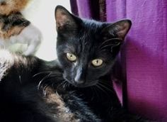 ZOUZOU Type : Chat domestique poil court Sexe : Mâle Age : Bébé Couleur : Noir Taille : Moyen Refuge : La compagnie des chats sans maitre/Ecole du chat de Caen(Calvados) Tél : 0782616089 Description : Tatoué, Vacciné, Propre C'est un chaton affectueux qui apprécierait la compagnie d'un copain chat. Habitué en appartement.