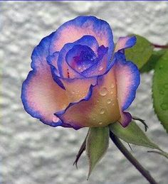 Gorgeous pink rose with cobalt blue edging