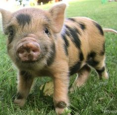 My love for teacup piglets is somewhat ridiculous....but i'm not gonna fight it.