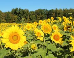 """3 acres of sunflowers at """"Fall on the Farm"""" at Blooms and Berries in Loveland, Ohio"""