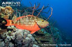 Stoplight parrotfish photo - Sparisoma viride - G86739 | ARKive