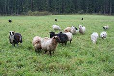 Stacks Image 396 Goats, Animals, Image, Animales, Animaux, Animal, Animais, Goat