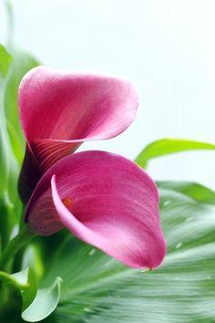 Le zantedeschia rehmannii (rose) : Zoom sur le zantedeschia - Journal des Femmes