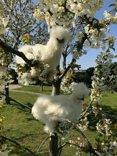 Silkie pullets and cherry blossom. Farm Animals, Animals And Pets, Funny Animals, Cute Animals, Beautiful Chickens, Beautiful Birds, Animals Beautiful, Silkie Chickens, Chickens And Roosters
