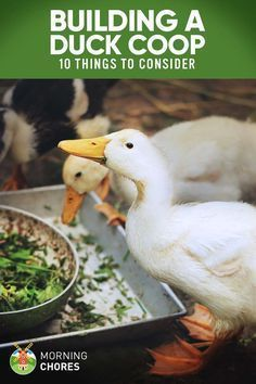 10 Things to Consider When Building a Duck Coop with link to pool drain materials list #Ducks