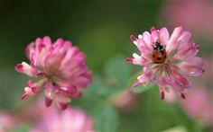 Rote Blumen und Marienkäfer Hintergrundbilder Bilder Fotos