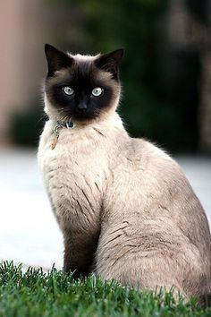 This gorgeous creature is a Siamese cat, she looks like a member of royalty!