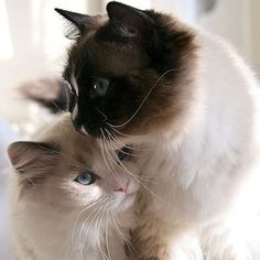 Do cats get jealous? Dealing with a jealous cat can be stressful for both you and your kitty. Use these tips to calm and soothe your fretting feline. Pretty Cats, Beautiful Cats, Animals Beautiful, Beautiful Couple, Beautiful Babies, Beautiful Things, Cute Kittens, Cats And Kittens, Siamese Cats
