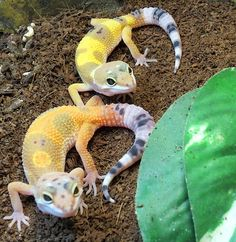 Leopard gecko babies (Eublepharis macularius) So cute! Check out our caresheet on this great reptile pet.