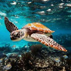 Meeresschildkröte - New Sites Save The Sea Turtles, Baby Sea Turtles, Cute Turtles, Facts About Sea Turtles, Sea Turtle Pictures, Sea Pictures, Turtle Love, Ocean Turtle, Sea Turtle Art