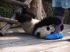 Why stay and play? Because there are not many other pandas to play with.