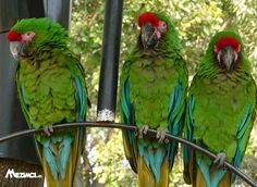 At one time we owned a pet store and we had a couple of Military Macaws. These are much bigger than the Severe Macaws. Severe Macaw, Flight Feathers, Parrot Bird, Exotic Birds, Pet Store, Pet Birds, Wildlife, Military, Animals