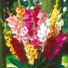 Gladiolus lovers, here's an opportunity to shop every gladiolus you fancy- come to K. Van Bourgondien and buy gladiolus bulbs at wholesale price. Plenty of popular landscaping plants, gardening tools in our lineup. Make sure you check it out today. Cotton Candy Grass, Pink Cotton Candy, Gladiolus Bulbs, Gladiolus Flower, Bulb Flowers, Purple Flowers, Flower Pots, Perennial Bulbs, Garden Bulbs