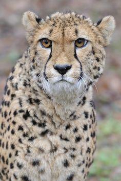 cheetah |