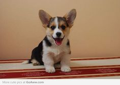 when we get our Corgi puppy im taking 1000000000 pictures of her!