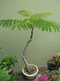 Image result for flamboyant bonsai