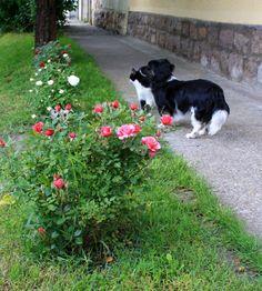Nyílnak a rózsák