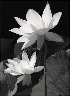 White Lotus Flowers. I would love to have this picture hanging in our future house.