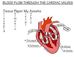 Nursing School: Medical Surgical Nursing Mnemonics -- blood flow through the valves Medical Surgical Nursing, Cardiac Nursing, Nursing Mnemonics, Nursing Diagnosis, Med Surg Nursing, Nursing Assessment, Ob Nursing, Nursing School Tips, Nursing Notes
