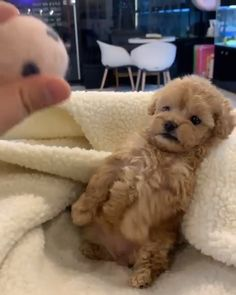 Teddy Bear Poodle - - Do you llove own a Living teddy bear ? Here are cutest Teddy Bear Dog breeds you ever see. Find interesting facts and information about teddy bear dogs. Super Cute Puppies, Cute Little Puppies, Cute Little Animals, Cute Dogs And Puppies, Cute Funny Animals, Funny Dogs, Cutest Dogs, Baby Puppies, Funny Puppies