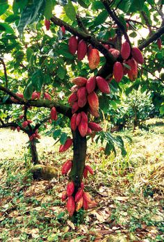 Decoding the cocoa genome - CIRAD